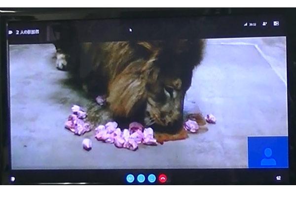 ライオンがエサ(馬肉・鶏頭)を食べる様子