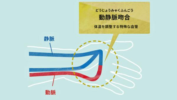 ※2 動静脈吻合(どうじょうみゃくふんごう:Arteriovenous Anastomoses(AVA)体温を調整する特殊な血管)